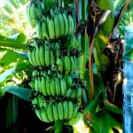 Banana Tropical Fruit Nursery