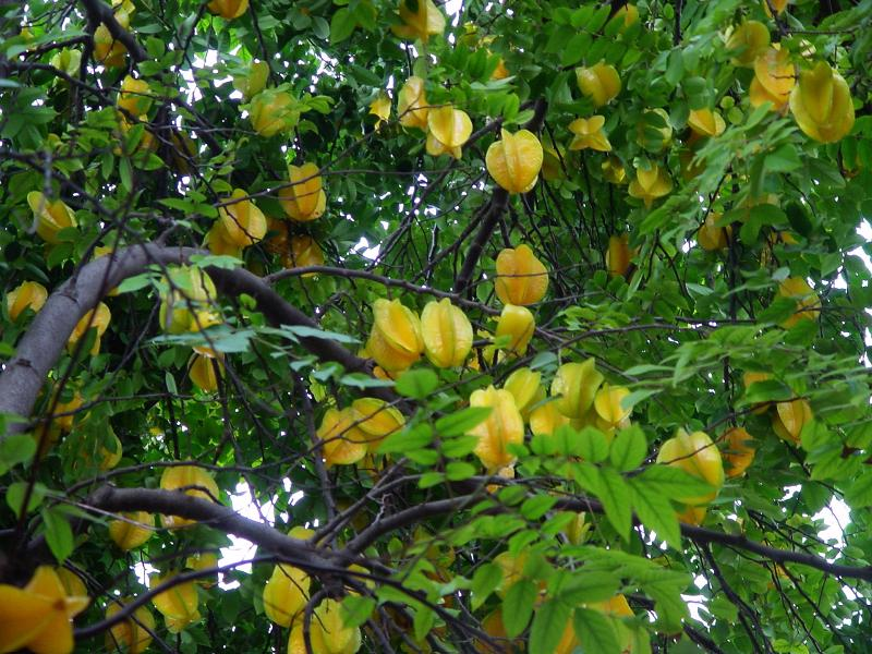 Picture of: Carambola Tropical Fruit Nursery