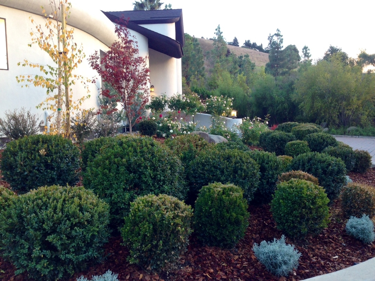 Image of: Boxwood Hedge Backdrop