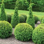 Boxwood Hedge For Sale