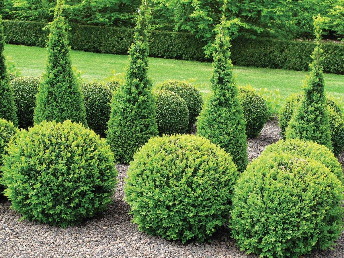 Image of: Boxwood Hedge For Sale
