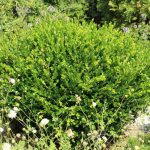 Winter Gem Boxwood Care