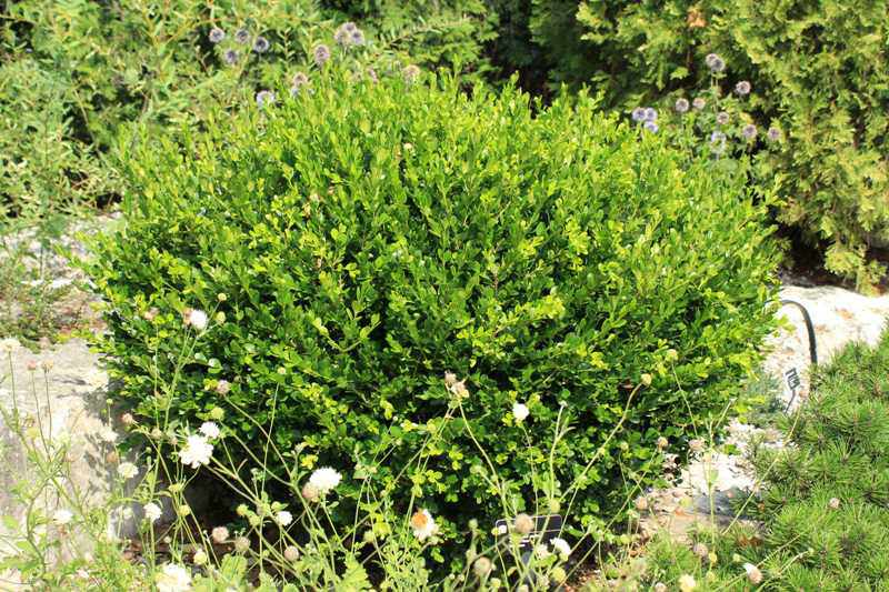 Picture of: Winter Gem Boxwood Care