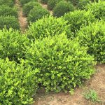 Winter Gem Boxwood Hedge Image