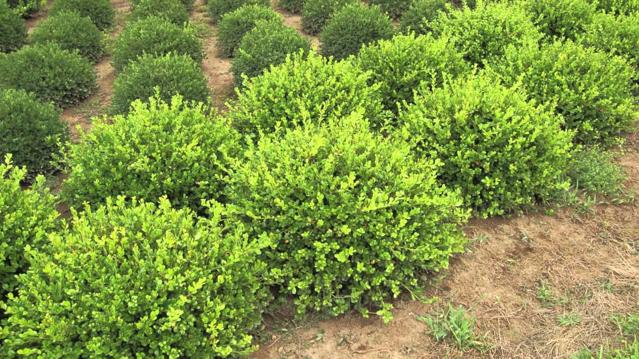 Picture of: Winter Gem Boxwood Hedge Image