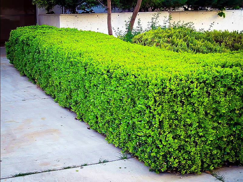Picture of: Winter Gem Boxwood Shrubs