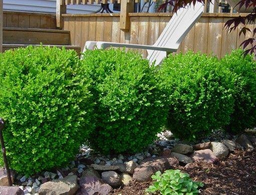 Picture of: Winter Gem Boxwood Size