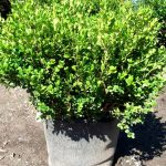 Pictures Of Winter Gem Boxwood Hedge