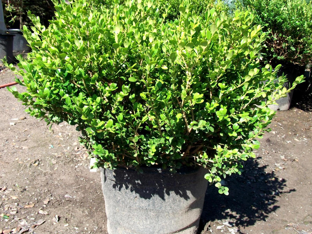 Picture of: Pictures Of Winter Gem Boxwood Hedge