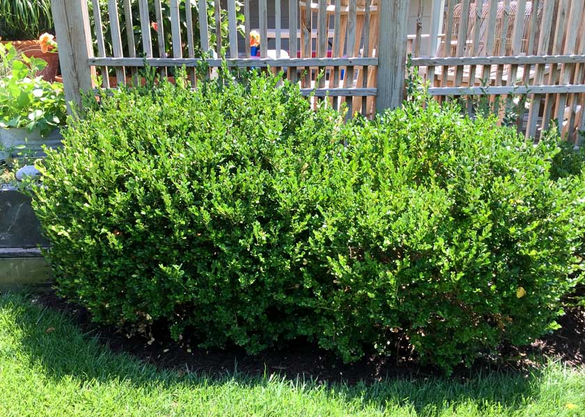 Picture of: Pruning Winter Gem Boxwood Hedge