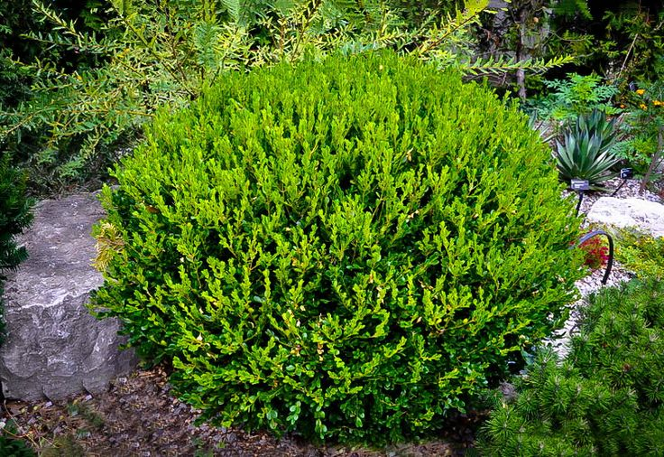 Winter Gem Boxwood Hedge Ideas